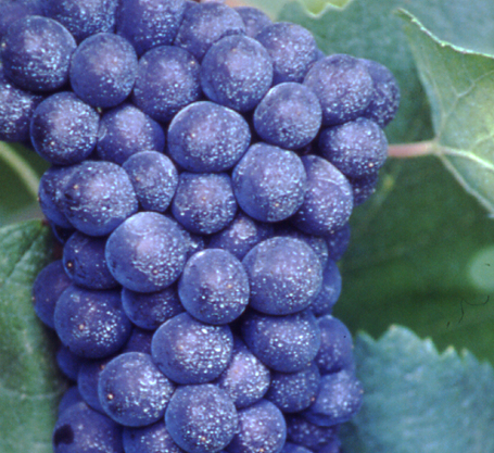 Vitigno Pinot nero